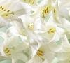 easterlilies